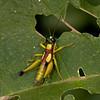 Ecuador 2012: Sacha Lodge - Grasshopper (Acrididae: Ommatolampidinae:  Ommatolampidini: Eulampiacris [Ommatolampis] leucoptera)