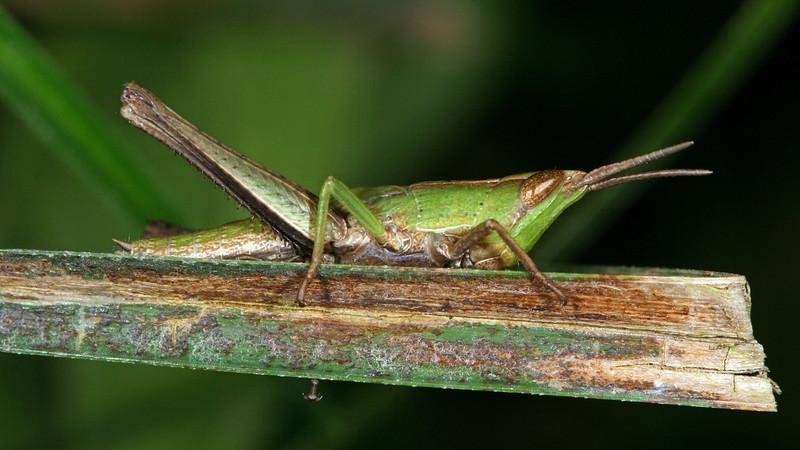 Rio San Juan - Grasshopper nymph (Acrididae: Acridinae: Hyalopterygini adspersa) at Sabalos Lodge