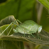 Costa Rica 2013: Uvita - 422 Katydid nymph (Phaneropteridae: probably Phaneropterinae)  [formerly Tettigoniidae]