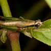 CR2013 Uvita: Uvita - 052 Grasshopper (Acrididae: Proctolabinae: Proctolabini: possibly Ampelophilus sp.)