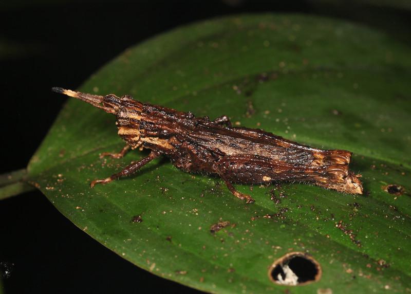 Ecuador 2012: Sacha Lodge - Short-horned Grasshopper (Acrididae: Ommatolampidinae: Ommatolampidini: Lysacris  sp.; possibly L. sylvestris)