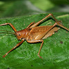 Costa Rica 2010: Osa - Katydid (Phaneropteridae: Pseuedophyllinae: probably Cocconotini)