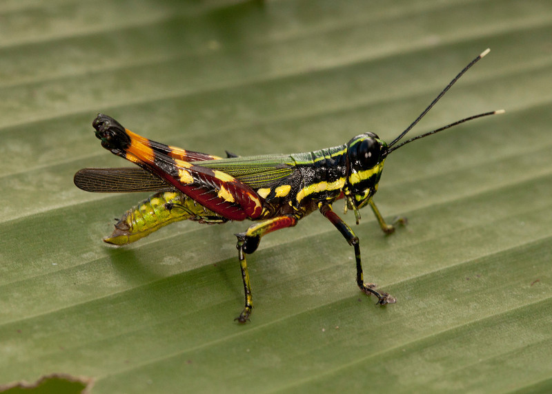 Ecuador 2012: Sacha Lodge - Spur-throat Toothpick Grasshopper (Acrididae: Leptysminae: Tetrataenia surinama)