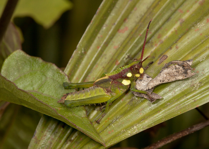 Ecuador 2012: Mindo - Male lubber grasshopper (Romaleidae:  Romaleinae: Elaeochlorini: Agriacris magnifica)