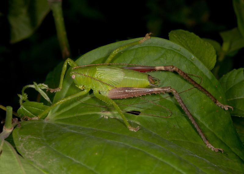 Costa Rica 2013: Uvita - 388 Katydid nymph (Tettigoniidae: Pseudophyllinae)