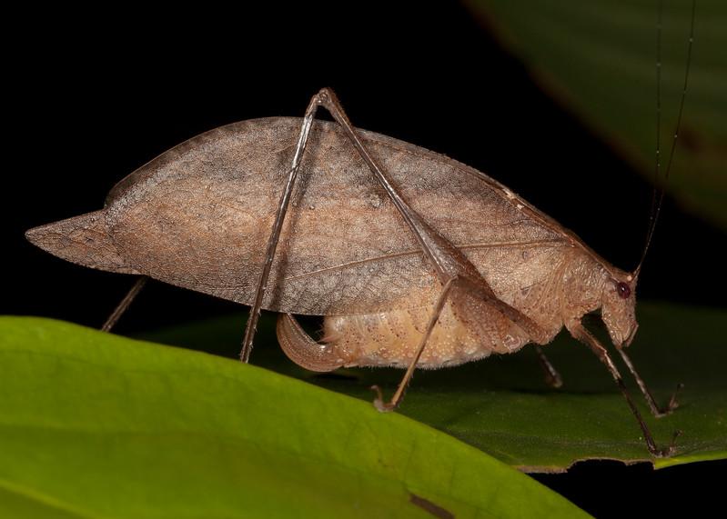 Belize 2017: Hickatee Cottages - Katydid (Tettigoniidae: Phaneropteridae: grp Phaneropterinae: Amblycoryphini: Orophus cf. tessellatus)