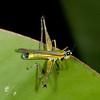 Peru 2012: Rio Madre de Dios - 121 Monkey Garasshopper (Eumastacidae: Eumastacinae: Eumastacini: Eumastax sp.)