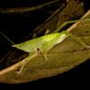 Peru 2014: Tamshiyacu-Tahuayo Reserve - Conehead Katydid nymph (Tettigoniidae: Conocephalinae)