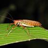Ecuador 2012: Sacha Lodge - Pseudophylline Katydid (Tettigoniidae: Pseudophyllinae: probably Schedocentrus sp.)