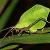 Costa Rica 2010: Osa - Leaf-mimicking Katydid (Tettigoniidae: Pterochrozinae: Mimetica viridifolia; aka M. viridis)