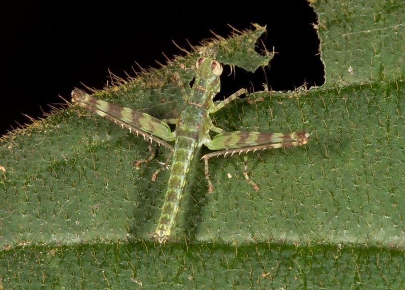 Costa Rica 2013: Uvita - 543 Immature Monkey Hopper (Eumastacidae: Eumastacinae: Homeomastax sp.)