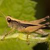 Belize 2017: Cotton Tree Lodge - Slant-faced Grasshopper (Acrididae: Gomphocerinae: Orphulellini: Orphulella cf. punctata); male