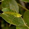 Peru 2014: Tamshiyacu-Tahuayo Reserve - Katydid (Tettigoniidae: Phaneropterinae)