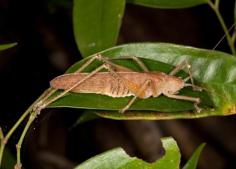 Costa Rica 2013: Dominical - 391 Katydid (Phaneropteridae: Pleminiinae: Cocconotini: Docidocercus sp.)  [formerly Tettigoniidae: Pseuedophyllinae]