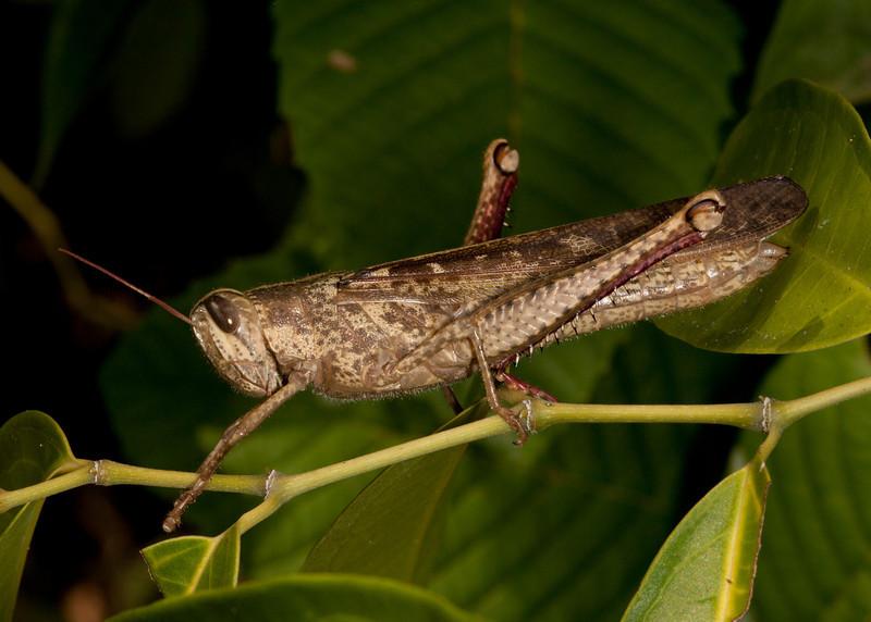 Costa Rica 2013: Dominical - 038 Bird Grasshopper (Acrididae: Cyrtacanthacridinae: Cyrtacanthacridini: Schistocerca sp. possibly S. pallens)