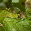 Costa Rica 2013: Uvita - 430 Bush Katydid (Tettigoniidae: Phaneropterinae: Phaneropterini: possibly Scudderia sp.)  [formerly Tettigoniidae: Phaneropterinae: Phaneropterini]