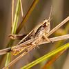 Ecuador 2016: Otavalo - Unidentified grasshopper (Acrididae) at Laguna Cuicocha
