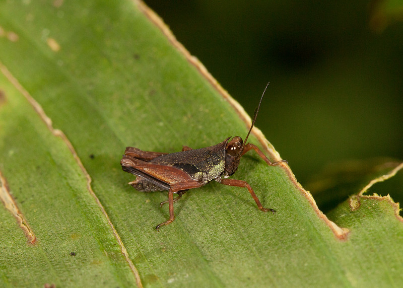 Ecuador 2012: Sacha Lodge - Grouse Locust nymph (Tetrigidae: Batrachideinae: Scaria sp.)