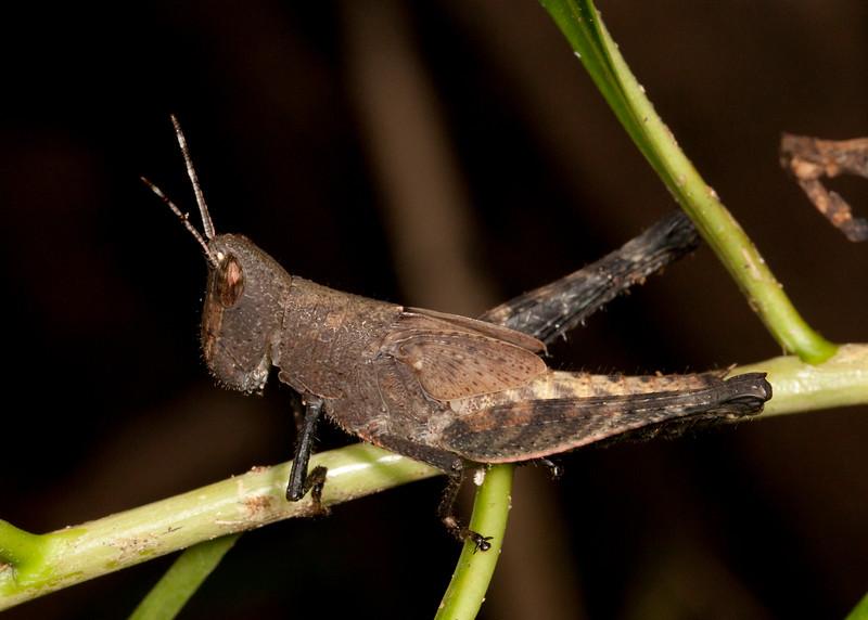 Peru 2014: Tamshiyacu-Tahuayo Reserve - Unidentified grasshopper nymph (Acrididae)