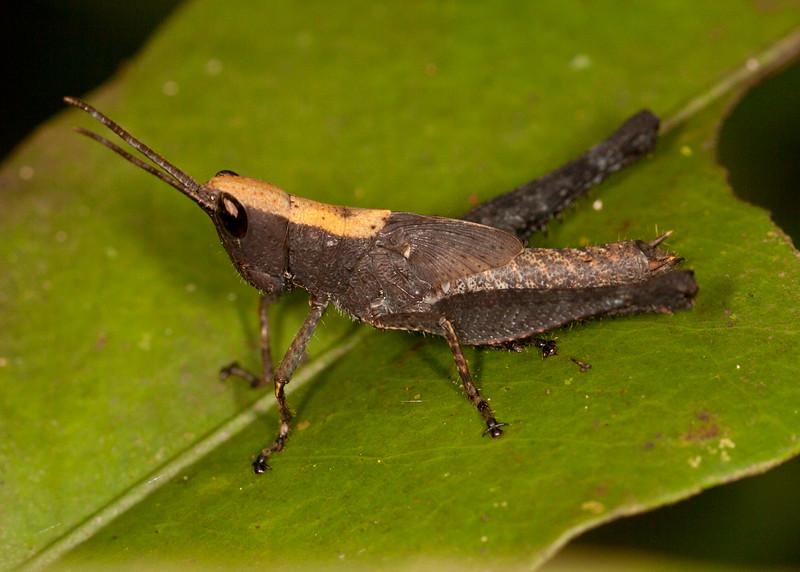 Peru 2014: Tamshiyacu-Tahuayo Reserve - Romaleid Grasshopper (Romaleidae: Romaleinae: Phaeopariini: Maculiparia sp.)