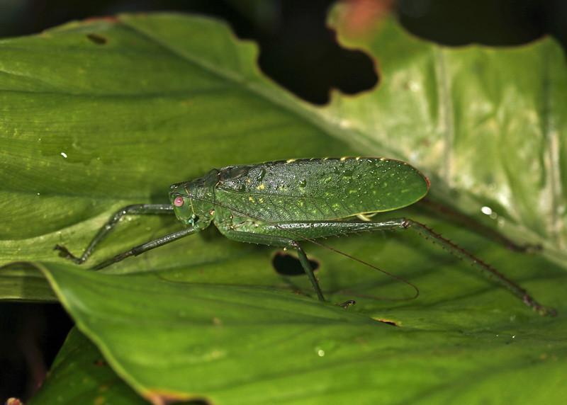 Ecuador 2012: Sacha Lodge - Katydid (Tettigoniidae)