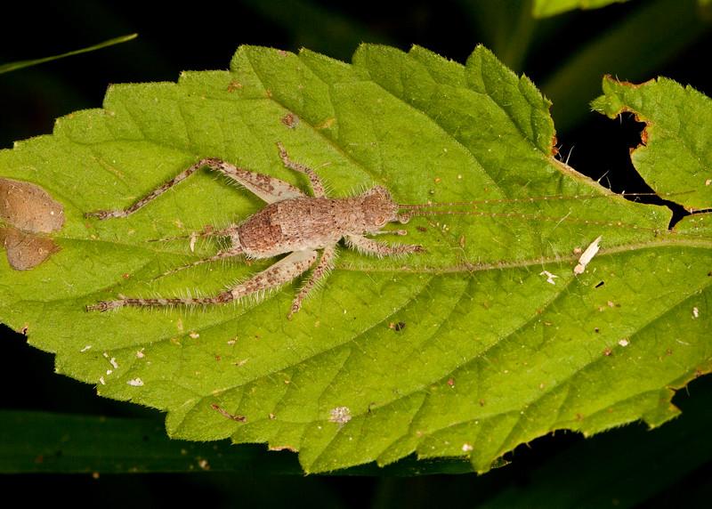 Peru 2014: Tamshiyacu-Tahuayo Reserve - Cricket nymph (Gryllidae: probably Eneopterinae)
