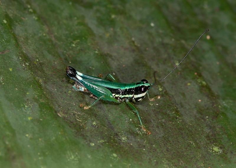 Ecuador 2012: Sacha Lodge -  Spur-throat Toothpick Grasshopper (Acrididae: Leptysminae: Tetrataeniini: Nadiacris metallica)