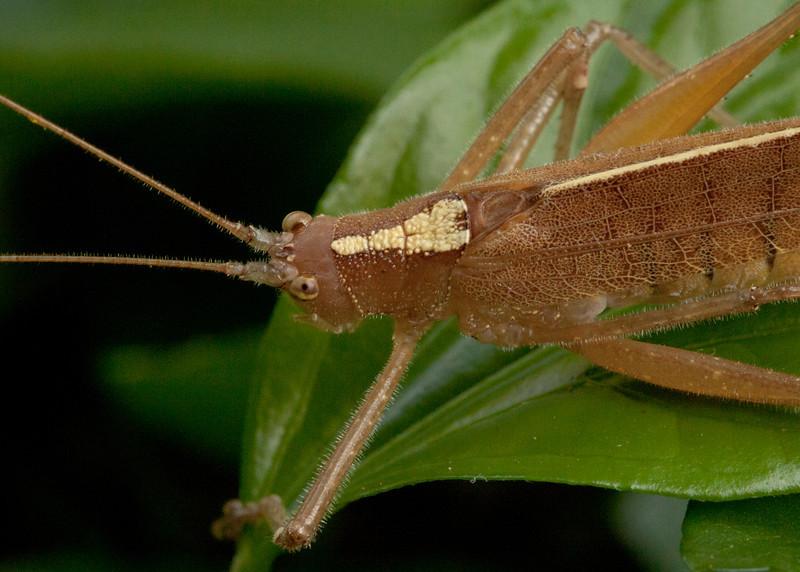 Costa Rica 2013: Uvita - 323 Pseudophylline Katydid (Tettigoniidae: Pseudophyllinae: Cocconotini: Docidocerus sp.; probably D. saggittatus; possibly D. gigliotosi)