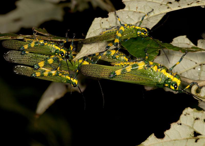 Ecuador 2012: Mindo - 009 Ecuadorian Lubber Grasshopper (Romaleidae: Romaleinae: Chromacris psittacus pacificus)