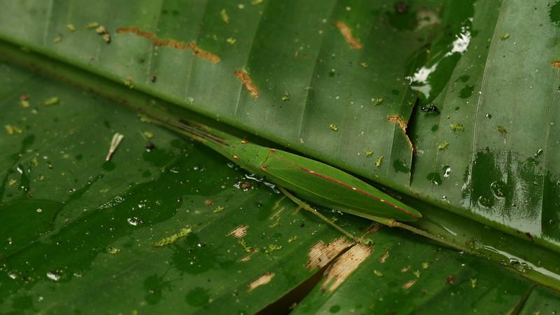 Costa Rica 2010: Las Cruces - Katydid (Tettigoniidae: Phaneropterinae: Pterophyllini: probably Scopiorinus sp.; possibly S. impressopunctatus)