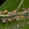 Costa Rica 2013: Uvita - 263 Giant Grasshopper nymphs (Romaleidae: Romaleinae: Romaleini: Tropidacris cristata)