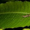 Peru 2014: Tamshiyacu-Tahuayo Reserve - Katydid nymph (Tettigoniidae: probably Conocephalinae)