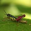 Ecuador 2012: Sacha Lodge - Unidentified grasshopper nymph (Acrididae)