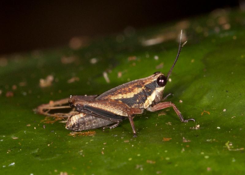 Peru 2014: Tamshiyacu-Tahuayo Reserve - Grouse Locust (Tetrigidae: possibly Batrachidiinae: Tettigidea sp.)