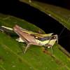 Peru 2014: Tamshiyacu-Tahuayo Reserve - Pygmy grasshopper (Tetrigidae: Batrachideinae: Scaria lineata)