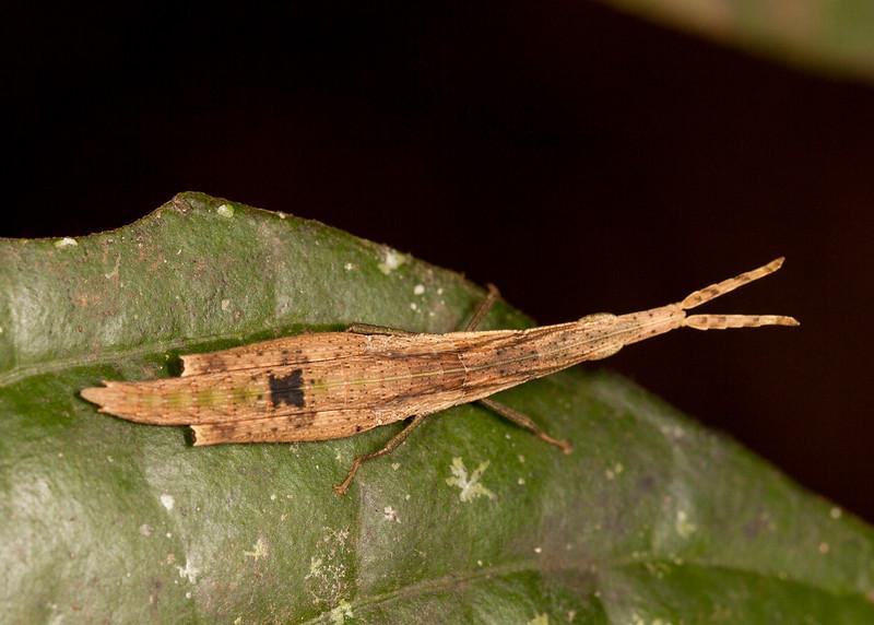 Peru 2014: Tamshiyacu-Tahuayo Reserve - Slant-faced, Toothpick or Mimic Grasshopper (Pyrgomorphidae: Pyrgomorphinae: Omurini: Omura congrua) juvenile