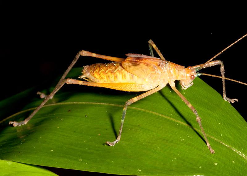 Katydid nymph (Phaneropteridae: Pleminiinae [formerly Tettigoniidae: Pseuedophyllinae])