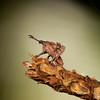 Belize 2017: Cotton Tree Lodge - Lubber grasshopper nymph (Romaleidae: Romaleinae: Procolpini: Procolpia cf. inclarata).