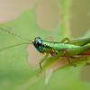 Costa Rica 2013: Uvita - 140 Grasshopper (Acrididae: Proctolabinae: Proctolabini: Ampelophilus sp.; probably A. olivaceus)