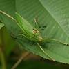 Costa Rica 2010: Osa - Katydid (Tettigoniidae: Phaneropterinae: Pterophyllini: probably Scopiorinus sp.)
