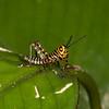 Costa Rica 2013: Uvita - 341 Giant Grasshopper nymph (Romaleidae: Romaleinae: Romaleini: Tropidacris cristata)