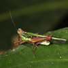 Ecuador 2012: Sacha Lodge - Grouse Locust (Tetrigidae: Batrachideinae: Scaria hamata)