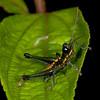 Ecuador 2012: Mindo - Male grasshopper (Acrididae: Rhytidochrotinae: Trichopaon cf. tatei)