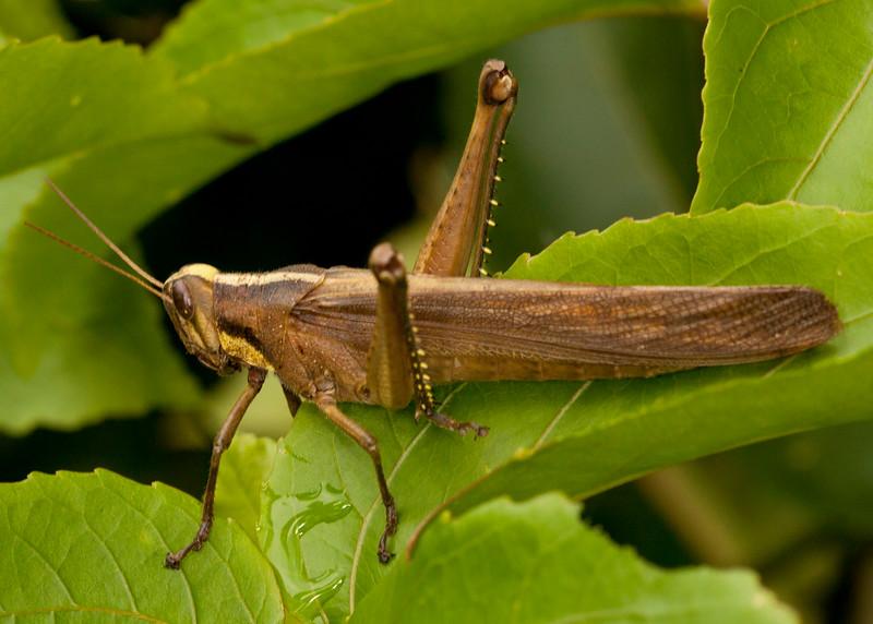 Peru 2012: Rio Madre de Dios - 185 Bird Grasshopper (Acrididae: Cyrtacanthacridinae: Cyrtacanthacridini: Schistocerca sp.; probably S. pallens)