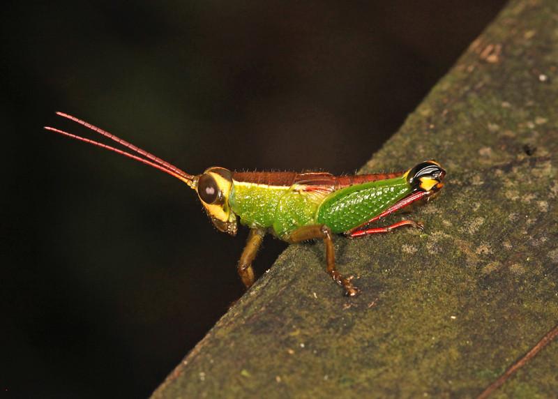 Ecuador 2012: Sacha Lodge - Grasshopper (Romaleidae: Bactrophorinae: Ophthalmolampini: Caenolampis cf. ottei)