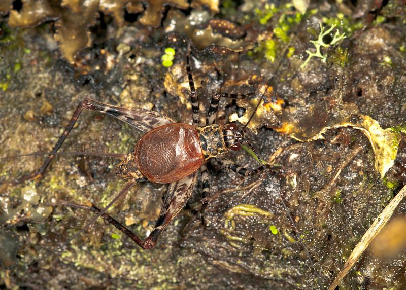 Ecuador 2012: Mindo - Spider cricket (Phalangopsidae)