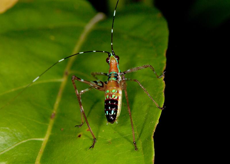Peru 2012: Rio Madre de Dios - 013  Probably a Bush Katydid nymph (Phaneropteridae: Phaneropterinae: possibly Scudderia sp.) [formerly Tettigoniidae: Phaneropterinae: Phaneropterini]