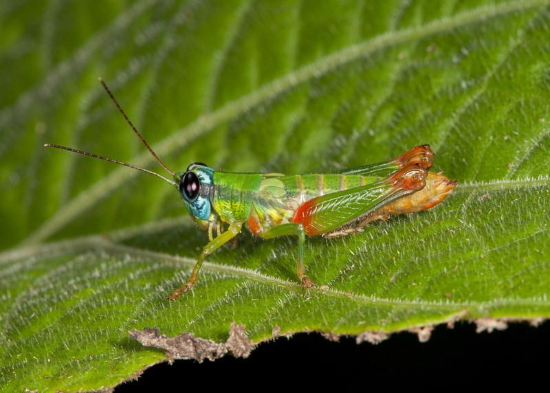 Costa Rica 2013: Uvita - 141 Grasshopper (Acrididae: Proctolabinae: Proctolabini: Ampelophilus sp.; probably A. olivaceus)