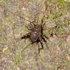 Peru 2014: Tamshiyacu-Tahuayo Reserve - Cricket (Phalangopsinae: Phalangopsini: Uvaroviella sp.)