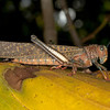 Costa Rica 2013: Uvita - 138 Giant Grasshopper (Romaleidae: Romaleinae: Romaleini: Tropidacris cristata)
